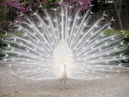 white-peacock-feathers.jpg